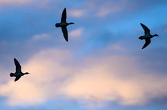 Silhouetted Ducks Flying in the Sunset Sky. Silhouetted Ducks Flying in the Colorful Sunset Sky Royalty Free Stock Photo