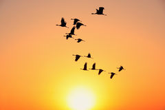 Silhouetted flock of demoiselle crains at sunset, Khichan villag Royalty Free Stock Image