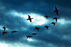 Silhouetted Flock of Ducks Flying in the Dark Evening Sky. Silhouetted Flock of Ducks Flying in the Dark and Stormy Evening Sky Stock Photo