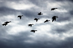 Silhouetted Flock of Ducks Flying in the Dark Evening Sky. Silhouetted Flock of Ducks Flying in the Dark and Stormy Evening Sky Stock Image