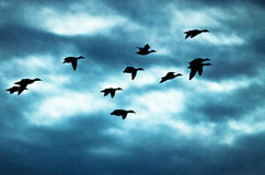 Silhouetted Flock of Ducks Flying in the Dark Evening Sky. Silhouetted Flock of Ducks Flying in the Dark Stormy Evening Sky Stock Image