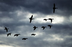 Silhouetted Flock of Ducks Flying in the Dark Evening Sky. Silhouetted Flock of Ducks Flying in the Dark Stormy Evening Sky Royalty Free Stock Images