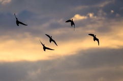 Silhouetted Flock of Ducks Flying in the Sunset Sky. Silhouetted Flock of Ducks Flying in the Colorful Sunset Sky Royalty Free Stock Images