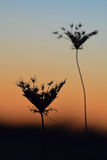 Silhouetted flowers at sunset Royalty Free Stock Images