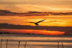 Silhouetted flyga seagullen med soluppgångplats Fotografering för Bildbyråer