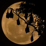 Silhouetted fruit bat on tree with the moon background Stock Images