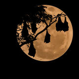 Silhouetted fruit bat on tree with the moon background Royalty Free Stock Images