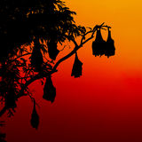 Silhouetted fruit bat on tree at sunset Royalty Free Stock Image