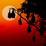 Silhouetted fruit bat on tree at sunset Stock Photography