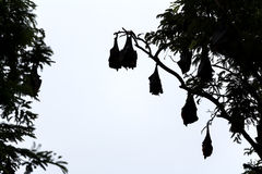 Silhouetted fruit bat on tree Stock Photos