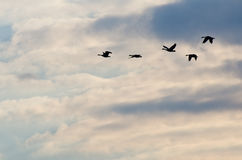 Silhouetted Geese Flying in a Beautiful Sky Stock Image
