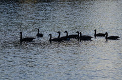Silhouetted Geese Swimming on an Evening Pond. Silhouetted Geese Swimming on a Silent Evening Pond Royalty Free Stock Photo