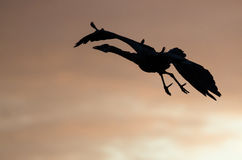 Silhouetted Great Blue Heron Flying in the Sunset Sky Stock Image