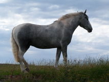 Silhouetted Grey Horse betar in Arkivfoton