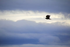Silhouetted Hawk in Flight Royalty Free Stock Photography