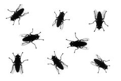 Silhouetted houseflies on White. Common houseflies in various positions, silhouette isolated on white stock image