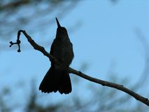 Silhouetted hummingbird royalty free stock photo