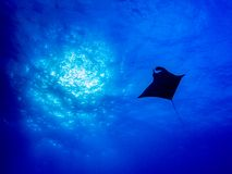 Silhouetted Manta Ray with Sun and blue water stock images