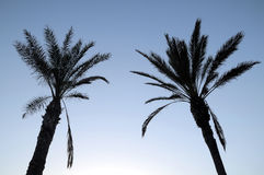 Silhouetted Palm Royalty Free Stock Photo