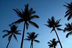 Silhouetted palm trees. Low angle view of silhouetted coconut palm trees with blue sky background Stock Photos