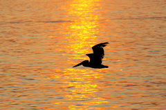 Silhouetted pelikan på soluppgång i Paracas den nationella reserven, Peru royaltyfri fotografi