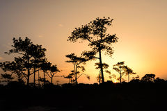 Silhouetted of pine tree at sunrise Royalty Free Stock Photography