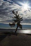 Silhouetted Pine Stock Photo