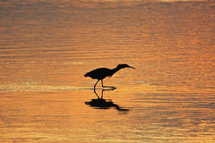 Silhouetted Reddish Egret Stock Images