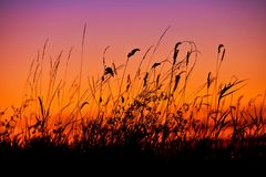 Silhouetted reeds at sunset. Closeup of silhouetted tall reeds with red sunset background Stock Photography