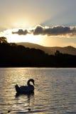 Silhouetted svan Arkivfoton