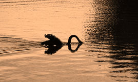Silhouetted swan diving for food Royalty Free Stock Images