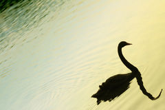 Silhouetted swan on lake Stock Photos
