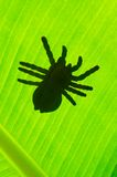 Silhouetted of tarantula Royalty Free Stock Photography