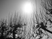 Silhouetted tree branches. Black and white closeup of silhouetted tree branches with sun shining in background Stock Image