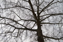 Silhouetted tree branches. With gray sky in the background Royalty Free Stock Photo