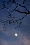 Silhouetted tree and moon. Scenic view of silhouetted tree branches with moon in dark blue sky Stock Photo
