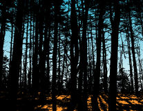 Silhouetted trees in forest Royalty Free Stock Photography