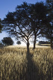Silhouetted trees and shadows in grasslamd. Royalty Free Stock Photography
