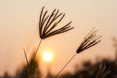 Silhouetted wild grass at sunset. Royalty Free Stock Images