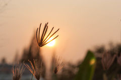 Silhouetted Wild Grass At Sunset. Royalty Free Stock Image