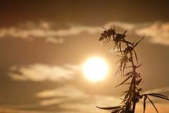Silhouetteert de bovenkanten van wilde hennep met bloeiwijze en zaden tegen de mooie avondhemel Cannabis naar de zon wordt geleun stock afbeelding