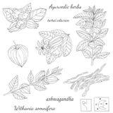 Silhouetteillustration del ashwagandha ayurvedic de la planta ilustración del vector