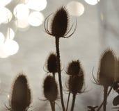 Thistles i Silhouette Royaltyfria Foton