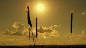 Silhouetten van aren van gebiedsgras op een zonsondergangachtergrond in een langzame motie stock videobeelden