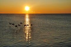 Silhouetten van Canadese Ganzen die bij Zonsopgang vliegen Royalty-vrije Stock Foto