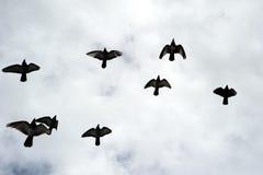 Silhouetten van een troep van vogels. Stock Afbeeldingen