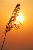 Silhouetten van gras Stock Foto's