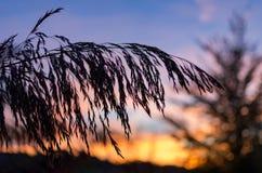Silhouetten van grassprietje bij zonsondergang Stock Fotografie