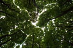 Silhouetten van groene esdoorntreetops Royalty-vrije Stock Foto's