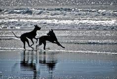 Silhouetten van Honden op een Strand Stock Foto's